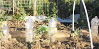 coltivare cipolla