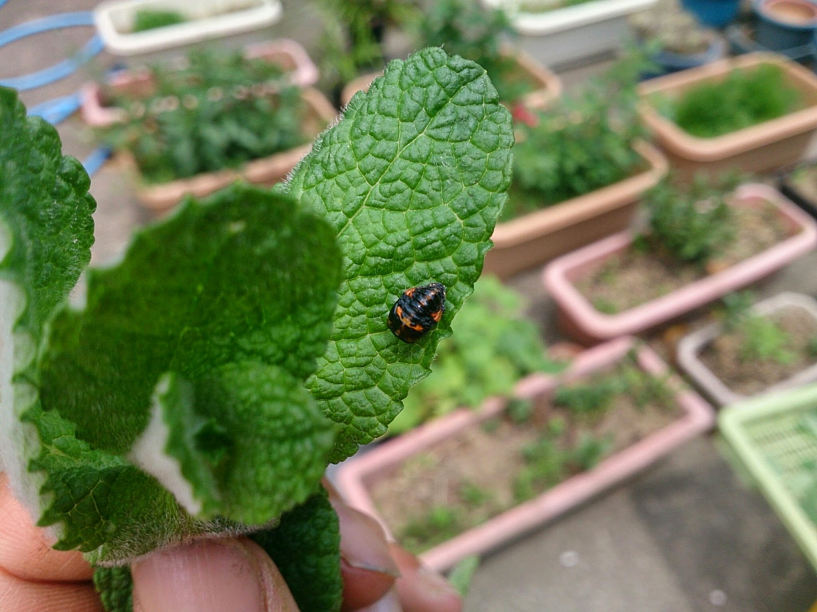 ナナホシテントウの蛹