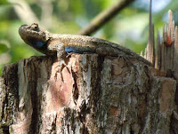 fence post lizard on sassafras post