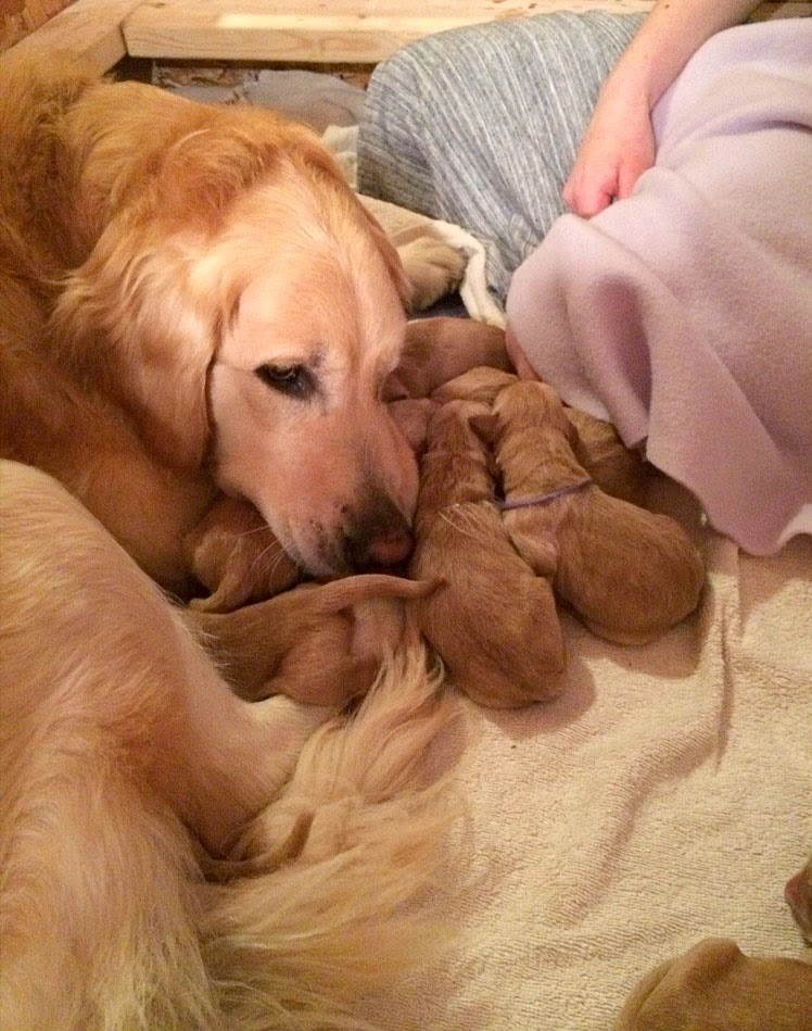 Golden Retriever Mama And Her Babies