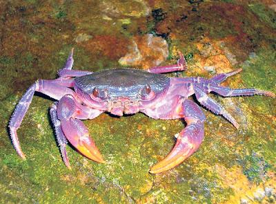 SALAH seekor daripada empat spesies baharu ketam yang berwarna ungu yang ditemui di Kepulauan Palawan, Filipina.
