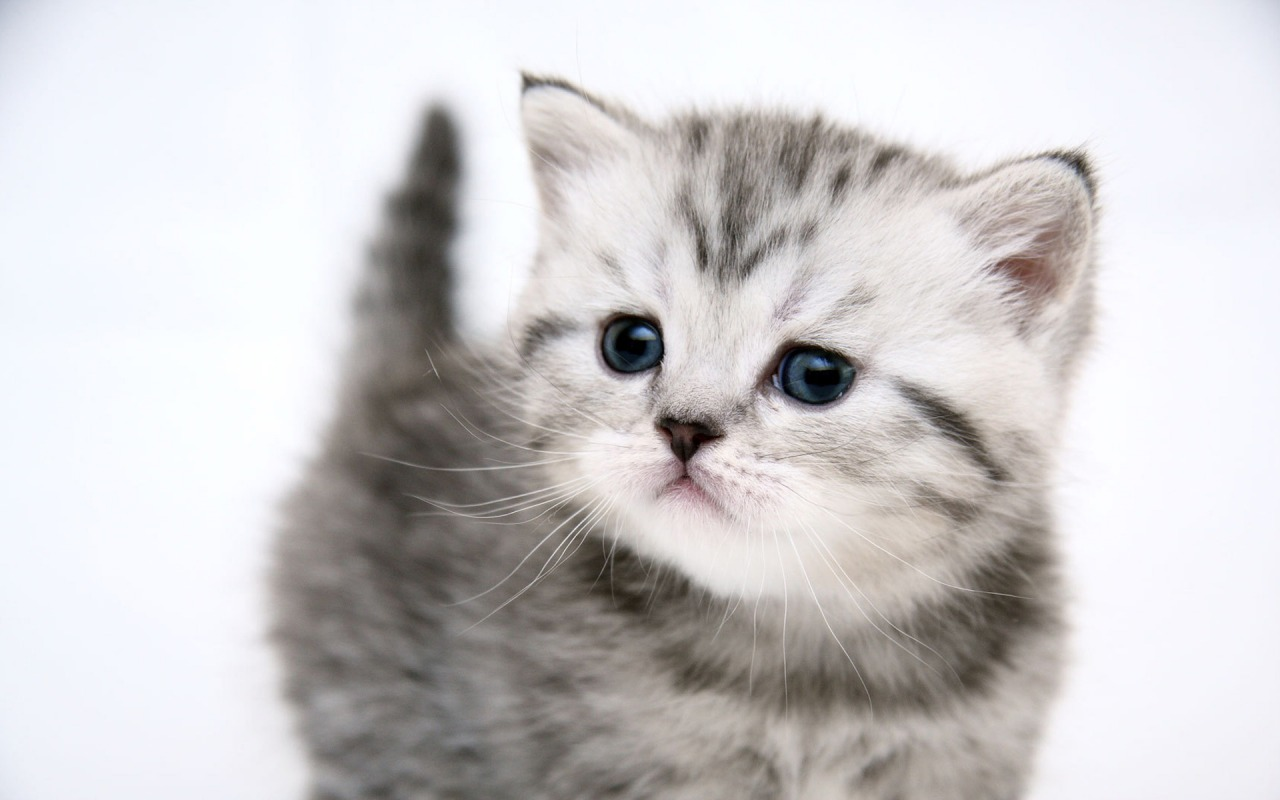 Kitten Cute Kitty Cat
