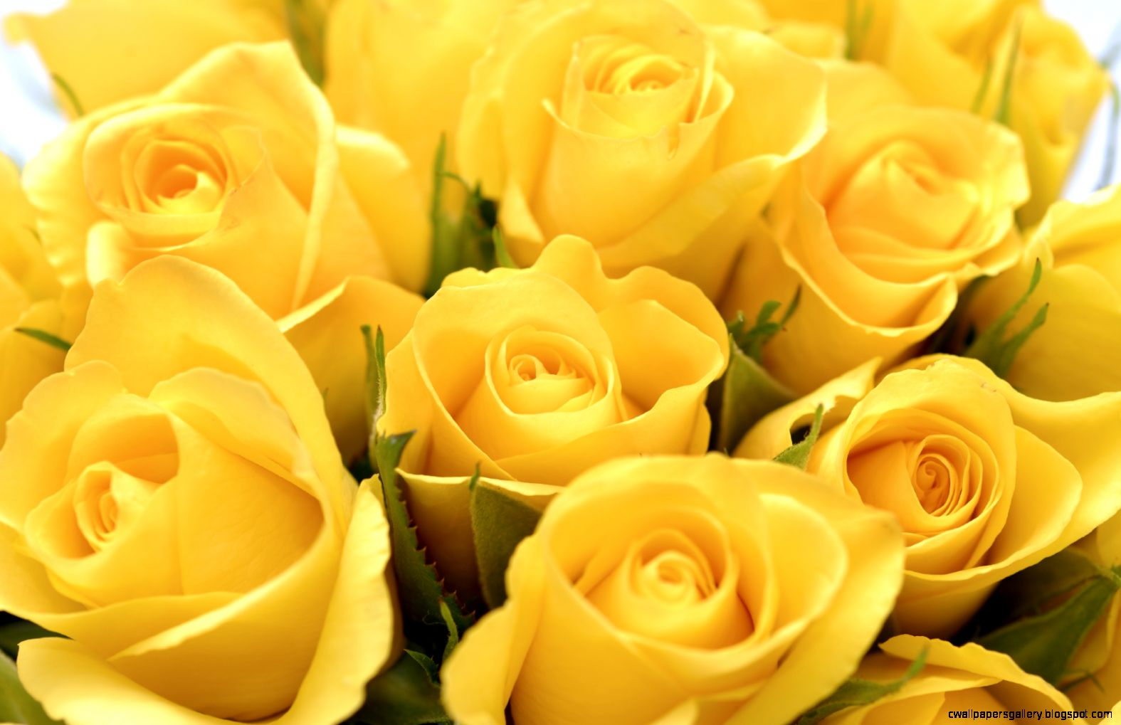 1000 images about Geel rose on Pinterest  Yellow Roses Roses