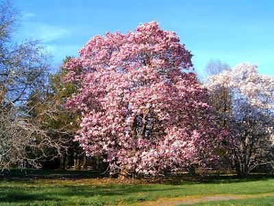 http://3.bp.blogspot.com/-LWWaPqisscI/T5wq0zejgvI/AAAAAAAABdM/hU8G4-4A9b4/s1600/Magnolia_Tree.jpg