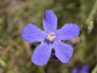 Saxicola Flowers on Loja Wildlife  Granada Province  Spain   Laguna Herrera And Archidona