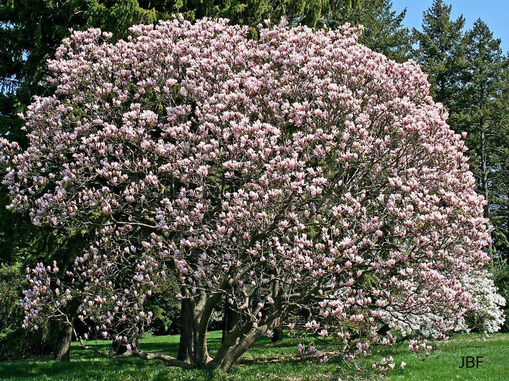 vizcayado magnolia soulangeana de amorosas hojas. Black Bedroom Furniture Sets. Home Design Ideas