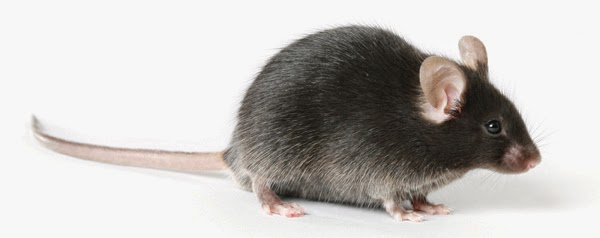 Researchers Alter Fat Metabolism in Animals to Prevent Heart Disease
