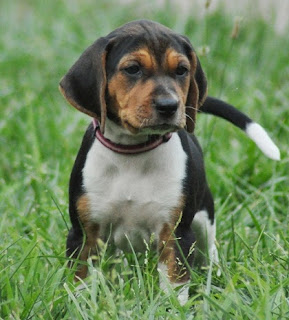 Treeing Walker Coonhound Puppy Pictures