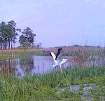 White Pelican Rescue & Release
