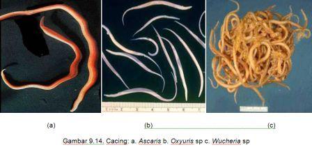 46++ Contoh gambar hewan nemathelminthes terupdate