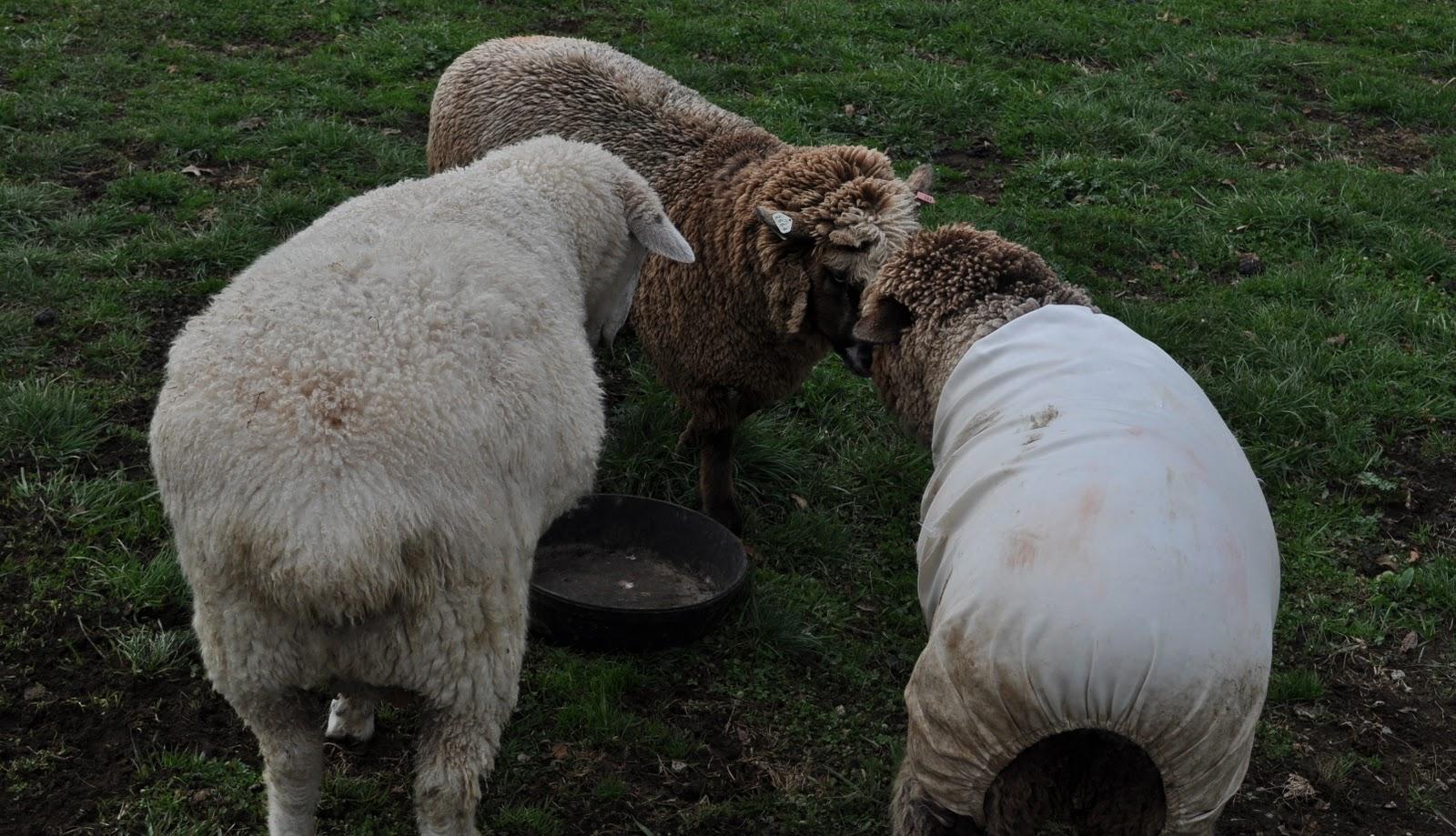 Sheep Dreams The Peace Keeper