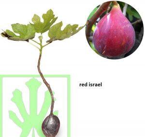 bibit-buah-tin-red-israel.jpg
