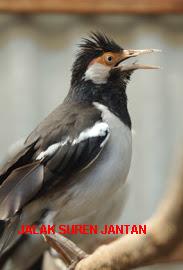 Perbedaan Jalak Suren Jantan Dan Betina | Arena Burung