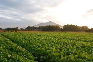 Pemenuhan kebutuhan unsur hara dari pupuk menjadikan tanaman subur