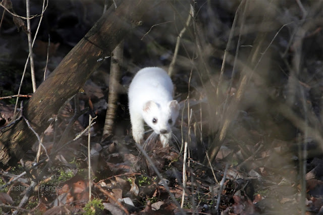 springing stoat (Mustela erminea) with a white fur