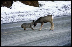 Bobcats are not beasts and will never be confused as such
