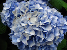 Hydangea &#39;Nikko Blue&#39;