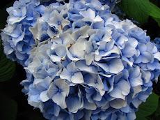 Hydangea 'Nikko Blue'