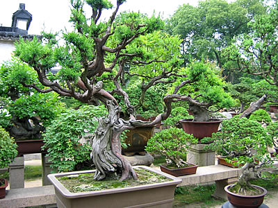 Le temps d 39 un drama bonsa l 39 art des arbres en pot for Arbre bonsai exterieur