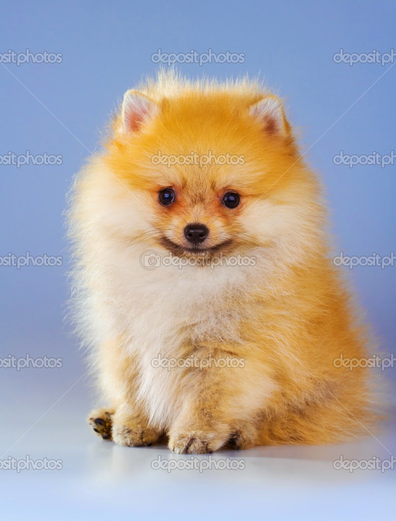 Rules of the Jungle: Pomeranian puppy