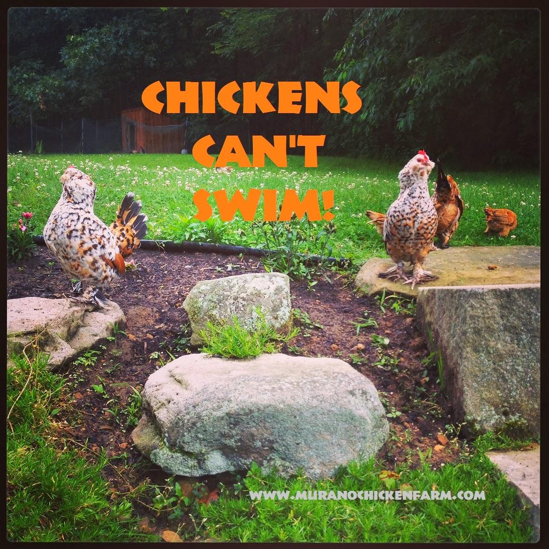 Murano chicken farm networkedblogs by ninua for Swimming chicken