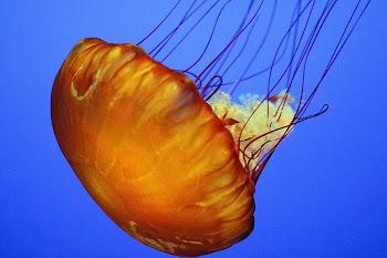 Büyük denizanaları hakkında bilgi