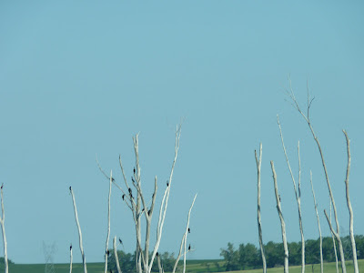 trees with cormorants