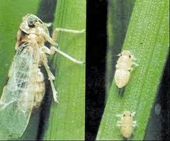 Lalat kacang (Ophiomya phaseoli Tryon)