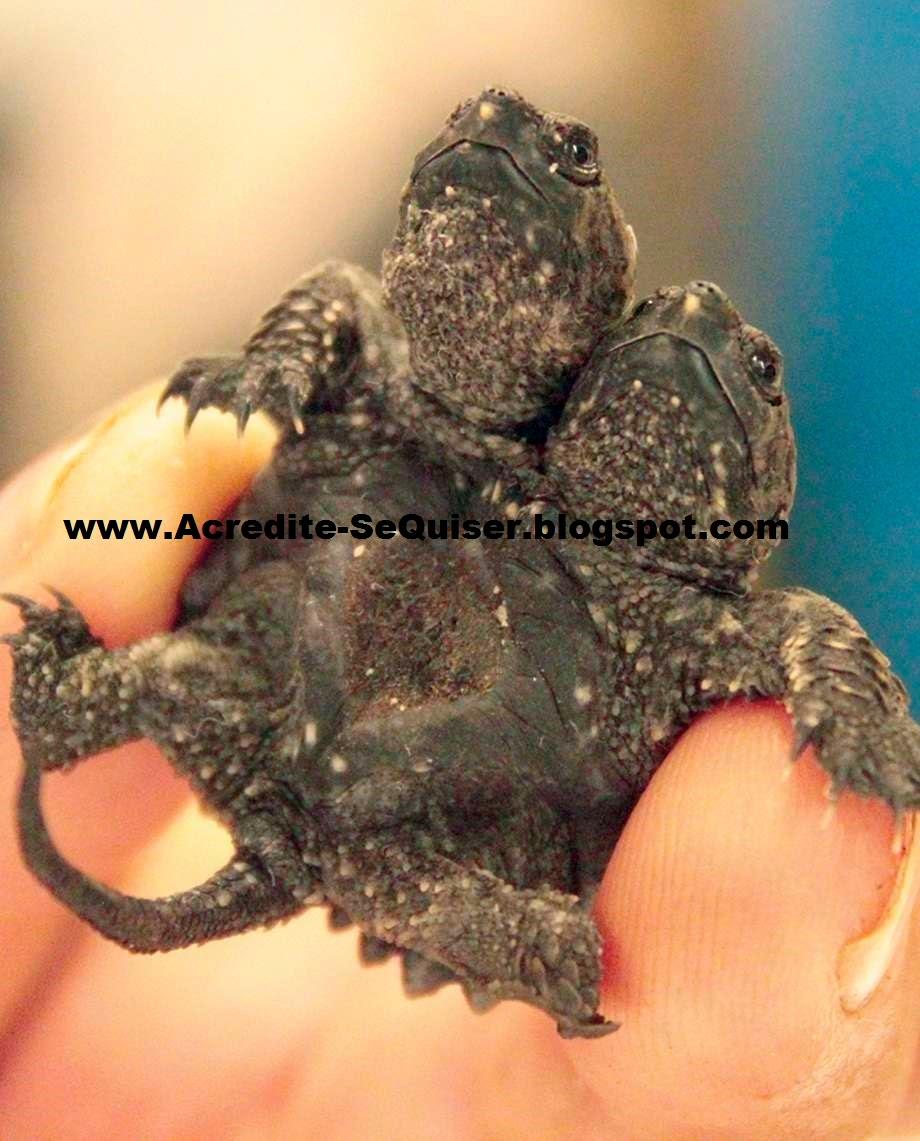 Tartaruga de duas cabeças é atração de criadouro nos EUA