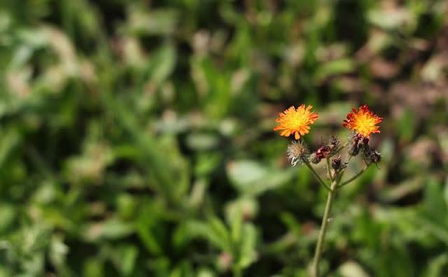Hieracium Aurantiacum Flowers Pictures