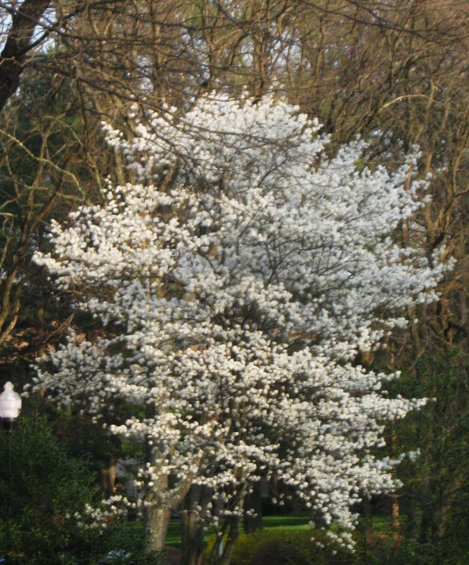Future plants by randy stewart serviceberry for Serviceberry tree