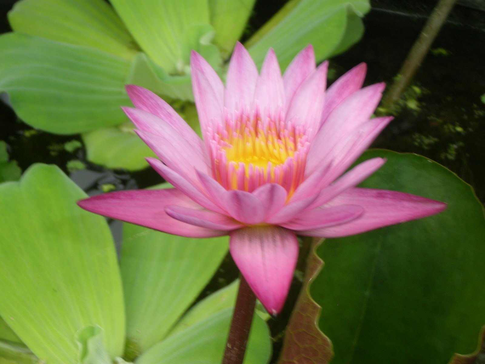 The Lotus Flower Symbol
