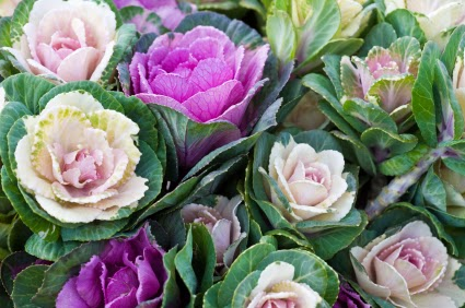 Inspiration shabby fiori di cavolo e verza for Cavolo ornamentale
