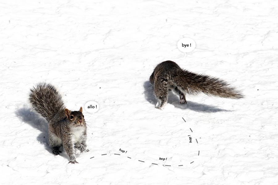 écureuil Montréal hiver