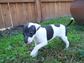 Greyhound Puppy Pictures