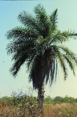 Mbocay Acrocomia aculeata