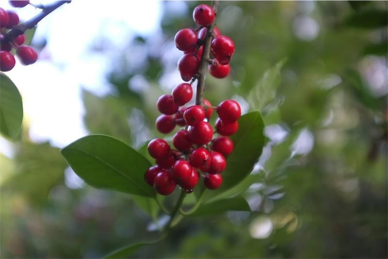 赤い鳥小鳥なぜなぜ赤い 赤い実を食べた♪ | ピーマ …