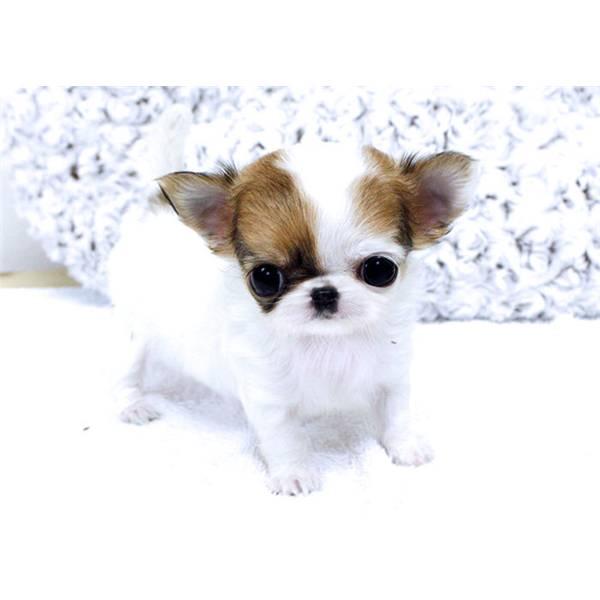 Noncelapossofa Truffa Chihuahua