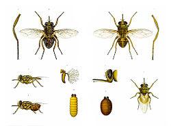 animales-raros-moscas-tse-tse