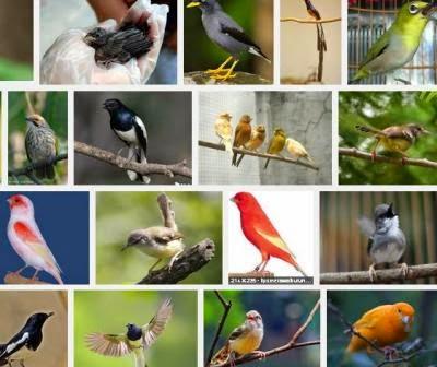 Memelihara Burung Berkicau