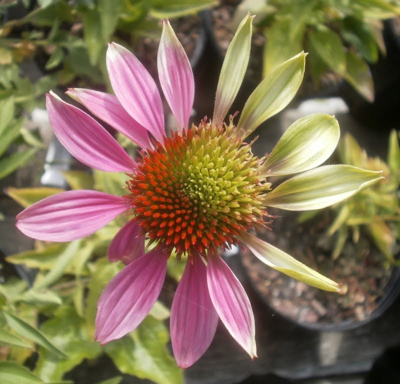 Wild Echinacea Plant Echinacea 39 Powwow Wild Berry 39