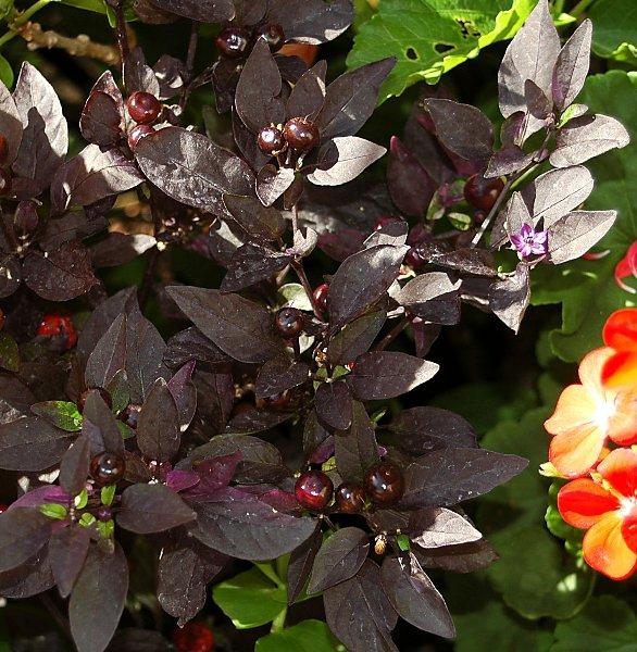 Plantas con hojas moradas imagui for Hojas ornamentales