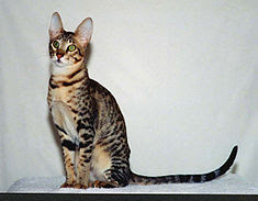 gambar kucing serengeti