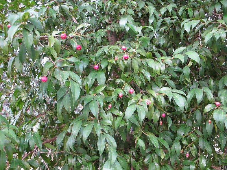 Flora nel salento e anche altrove syzygium paniculatum for Pianta eugenia