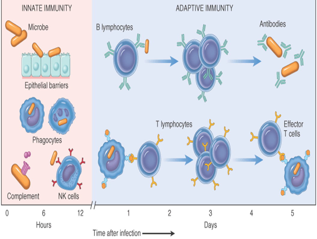 MBBS Medicine (Humanity First): Process of Immunity (images)
