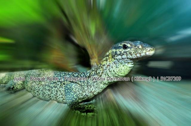 Judul : Biawak Rotte || Fotogarfer : Wisnu Darmawan ( Klikmg3 )
