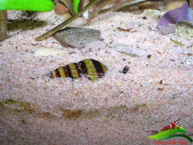 Ốc Helena - Ốc ăn ốc hay chui xuống nền trong hồ thủy sinh