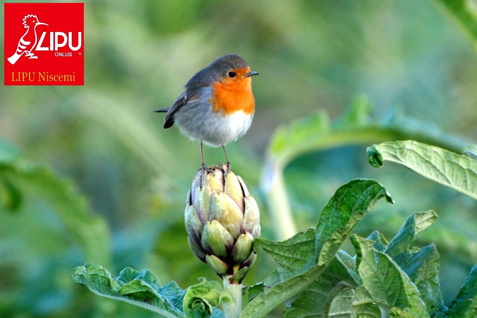 Lipu niscemi gennaio 2013 - Primavera uccelli primavera colorazione pagine ...