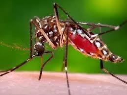 Cikungunya : Gejala ,  Pengobatan Dan , Pencegahan Virus Chikungunya