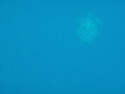 turtle balicasag island